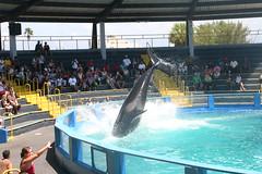 killer whale (orque) @ miami seaquarium (Bertrand Duperrin) Tags: miami killerwhale miamiseaquarium orque seaquarium