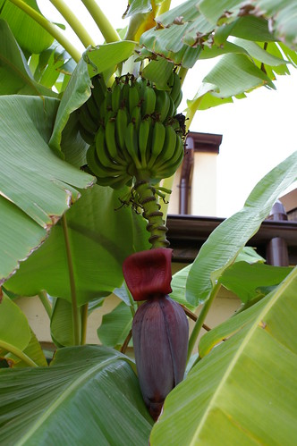 Neighborhood Banana Plant