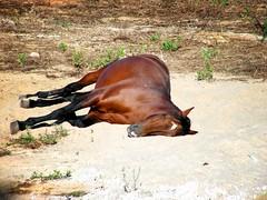 Olimpus no relax (Bruno Santos) Tags: sleeping horse dormir cavalo deitado