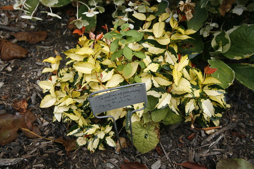 Asiatic jasmine at Joy Creek Nursery