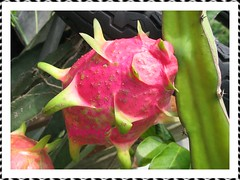 Red fruit of Hylocereus undatus (Red Pitaya, Dragonfruit, Strawberry Pear), almost ready to be harvested