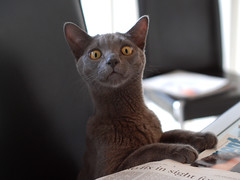 Gimli & the Morning Paper (evanembee) Tags: cats cat newspaper eyes kitten chat domestic gato  gatto kater kot gimli  kaz korat dsh chaton gattino latimes katti  quttah chasul kotyonok