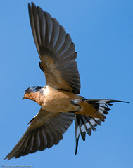 Barn Swallow In Flight (Marc Shandro) Tags: blue sky detail bird nature birds animals fly wings searchthebest tail flight feathers barnswallow swallows bif birdinflight photoshelter