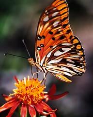 borboleta (Edison Zanatto) Tags: brazil naturaleza flores macro southamerica nature brasil butterfly insect natureza natur borboleta monarch  blume makro mariposa insekt schmetterling nikonn60 americadosul sdamerika fujicolorprovalue200 filme35mm farfala lepdptero continentesulamericano edisonzanatto