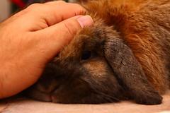Flopsy Loves Nose Rubs (Mark Philpott) Tags: pet pets house rabbit bunny bunnies snuggle furry blu fluffy rabbits loved mumble flopsy