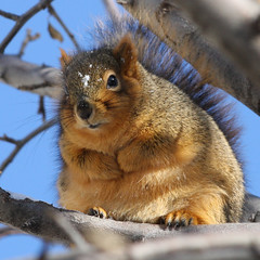 Yes, I ate lots of apples and sunflower seeds this year.  I plan to lose a little weight after the holidays!  ;-) (PrairieHill) Tags: winter cold nature closeup squirrel searchthebest chubby timeforadiet mywinners theunforgettablepictures