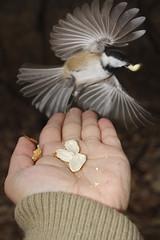 An Angel Snatched  My Peanut (Rye Eye) Tags: bird nature angel outdoors hand ryan chickadee peanut xsi gonsalves