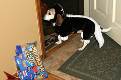 Halloween 8536 (Nick Curran) Tags: beagle halloween costume skunk maeby canonefs1755mmf28isusm
