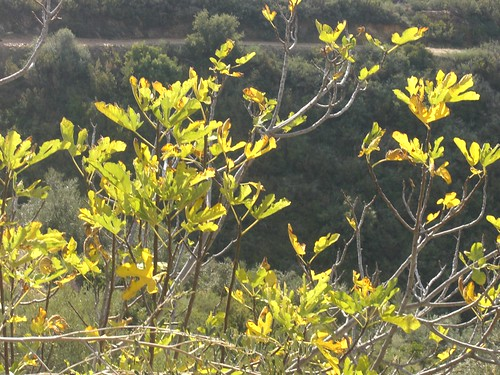 yellowing leaves of fig tree fournes hania chania