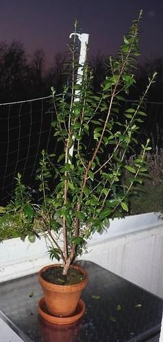 frost-myrte