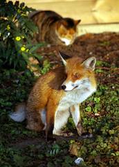 Fox at cemetery (Whipper_snapper) Tags: uk cemeteries london cemetery fox gb foxes eastlondon aldersbrook cityoflondoncemetery urbanfoxes aldersbrookroad