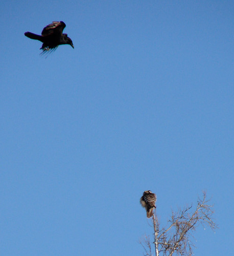Raven attacking Northern Hawk Owl