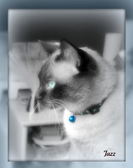 Jazz (Gabbcan) Tags: cat kitten kat chat siamese gatos gato tonkinese siames katter gatto katzen gatti gatinho   siamesische abigfave jazzthecat  blueeyes ojosazules kotkatt   gabbcan
