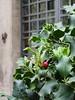 Agrifoglio (Justinawind) Tags: flora piante natale viterbo