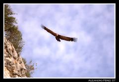 IMG_1615 (Alejandro  Perez) Tags: cazorla buitreleonado buitre leonado rapaz carroero