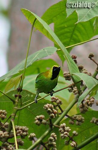 Daun Sayap Biru @ Blue-winged Leafbird