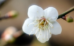 Plum (Explored) (ddsnet) Tags: plant flower sony plum hsinchu taiwan been have 350         explored mywinners goldstaraward 350 photos photoshavebeeninexplore explore
