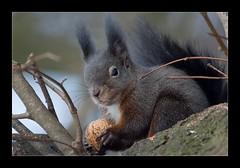Who bothers me? (der LichtKlicker) Tags: park favorite macro canon eos squirrel mark sigma apo ii 1d f56 ludwigsburg 400mm sciurusvulgaris hsm