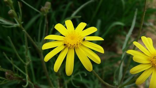 نبات الجرجار 3204933985_3f71b1bd9a.jpg