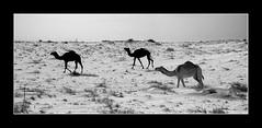 Camelos (CarlosBraga) Tags: camel doha qatar catar katar