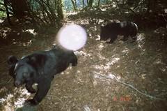 臺灣黑熊母子(黃美秀攝影)