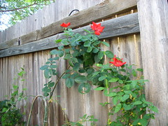 Altisimo climbing roses - first blooms (pawightm (Patricia)) Tags: flowers red roses austin scarlet garden backyard bright backyardgarden climbingrose austintexasgardenspool pawightm