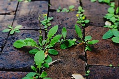 Squeezing through to the sun (Sam Hames) Tags: life plant flower brick yellow weeds driveway cracks pavers squeezed squeezing shortlived