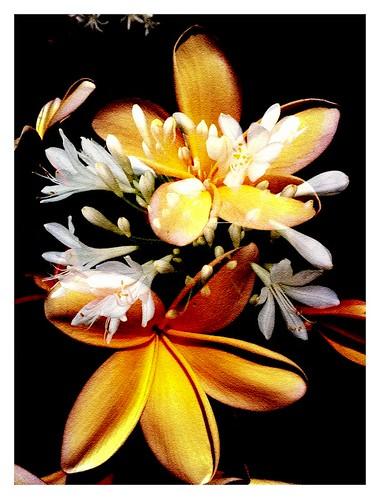 Classic Plumeria by bichonphoto
