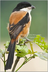 Long Tail Shrike (Ehtesham Khaled [www.ehteshamkhaled.com]) Tags: camera family green bird eye art up leaves yellow lens leaf nikon media order close view bokeh birding kingdom aves class sparrow bil l catch tele species dhaka khaled ehtesham bangladesh animalia bangla gazipur genus advertise schach bangali passeriformes banga lanius chordata phylum laniidae belai sham619 gettyimagesbangladeshq3