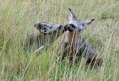Bat-Eared Foxes, Maasai Mara, Kenya