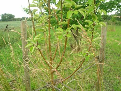 Apfelbaum vor Herunterbinden nah