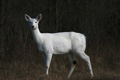 Ghost Deer of Seneca County (La Mano de Cuervo) Tags: white ny ghost deer whitetail albinistic senecaarmydepot