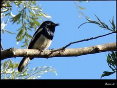 kili.. (sreeji..) Tags: blue wild sky bird net photography photo photos sony dsc trivandrum malayalee h7 sreejith kannur taliparamba inapp koottam aathirapalli kfm3 wwwsreejicom sreejinet kenoth