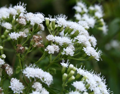 White Snakeroot , Ageratina altissima