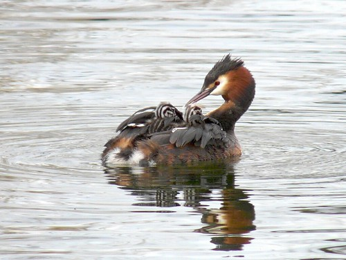 Grebe with chicks on Canada Water