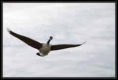Canada Goose (Kelvin_) Tags: bird nature birds canon flying inflight wings wildlife feathers goose kelvin canadagoose blueribbonwinner abigfave platinumphoto impressedbeauty ashotadayorso