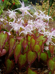 Epimedium Spring Wedding