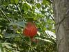 96.11.16竹崎鄉光華村茄苳風景區內的茄苳老樹DSCN3277