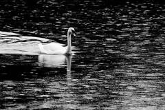 The river, the rain, the swan (Roberto F.) Tags: blackandwhite bw rain birds reflections river ticino fiume bn swans rivers riflessi pioggia biancoenero cigni wildbirds cigno canon400d robfon67