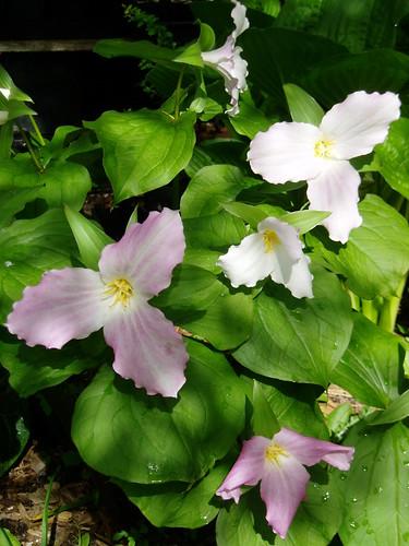 Trillium grandiflorum flowers aging