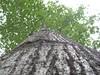 97.05.22平和國小吉貝木棉老樹DSCN0629