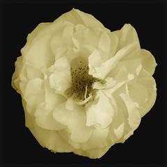 Rose (Kirsten M Lentoft) Tags: white flower rose sepia garden firstquality youmademyday momse2600 mmmuahhhhh kirstenmlentoft