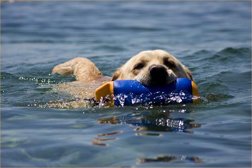 Todt, Labrador swimming