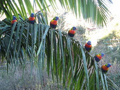 seven in a row (cskk) Tags: bird rainbow sydney australian lorikeet parrot australia trichoglossus haematodus