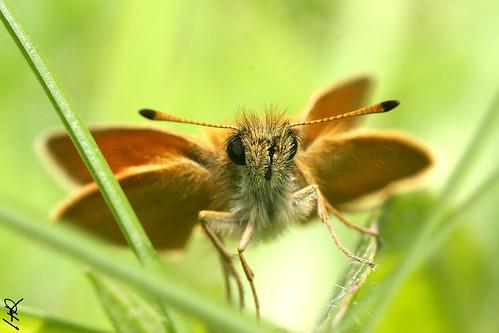 Thymelicus lineola (Merci Gilles san martin)