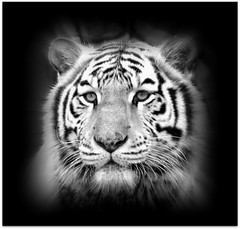 Mr White on Black (patries71) Tags: bw tiger tijger tigre picnik whitetiger ouwehands blacwhite supershot mrwhite wittetijger patries71 itsazoooutthere qualitypixels