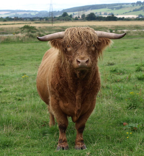 Highland Bull - Photograph by Brian Forbes