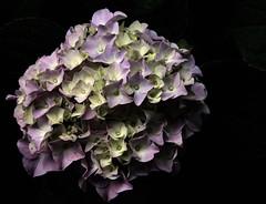 Hydrangea_3277 II (adp777) Tags: flower hydrangea photofaceoffwinner photofaceoffplatinum 103008 pfogold pfosilver 121808 themeflowers themesilvermedals httpwwwflickrcomgroupsfaceoffdiscuss72157608507480981 thememedals4 httpwwwflickrcomgroupsfaceoffdiscuss72157611331243333