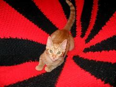 Amber, on my Texas Tech afghan (Hairlover) Tags: pet cats pets public cat kitten tabby kitty kittens kitties hairlover allcatsnopeople