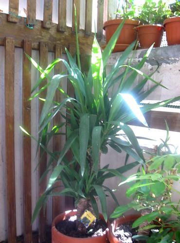 ce plant est sur mon balcon, elle grandit très bien...bonne nuit dans image bon nuit, jour, dimanche etc.